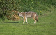 Lowell's newest members: A trio of coyotes