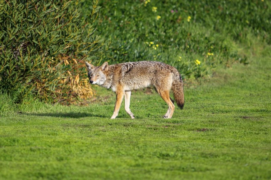 Many students and staff have spotted the coyotes by the soccer field, particularly in the afternoon.