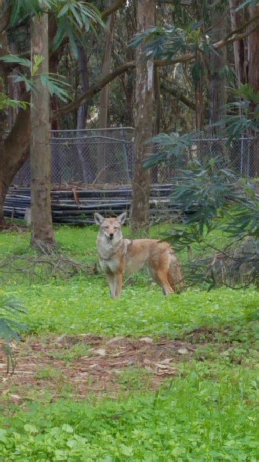 One of the coyotes hanging out at Rolph Nicols Park, right next to Lowell.